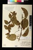 view Passiflora haematostigma Mart. ex Mast. digital asset number 1