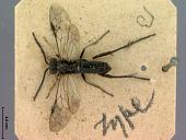 view Macrophya femorata Marlatt, 1898 digital asset number 1