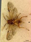 view Phyllotoma flavescens Marlatt, 1898 digital asset number 1