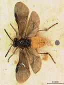 view Phyllotoma infumata Marlatt, 1898 digital asset number 1