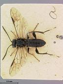 view Macrophya japonica Marlatt, 1898 digital asset number 1