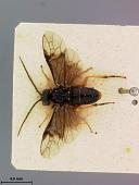 view Pteronus japonicus Marlatt, 1898 digital asset number 1
