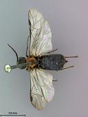 view Dolerus umbraticus Marlatt, 1898 digital asset number 1