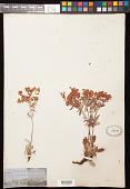 view Eriogonum jamesii Benth. digital asset number 1