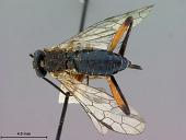 view Odontophyes bicoloripes digital asset number 1