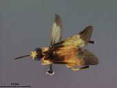 view Stromboceros (Stromboceridea) plesius Rohwer, 1911 digital asset number 1