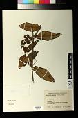 view Passiflora lanata (Juss.) Poir. digital asset number 1
