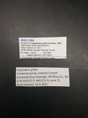 view Pyrgulopsis gibba Hershler, 1995 digital asset number 1