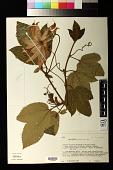 view Passiflora pilosicorona Sacco digital asset number 1