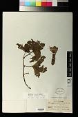 view Passiflora schlimiana Regel digital asset number 1