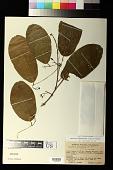view Passiflora sphaerocarpa Triana & Planch. digital asset number 1