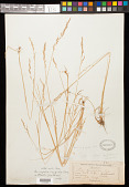 view Poa cusickii subsp. pallida Soreng digital asset number 1