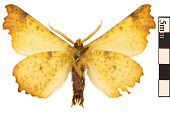 view Maple Spanworm Moth, Notched Wing Moth digital asset number 1