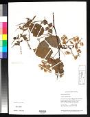 view Urvillea ulmacea Kunth digital asset number 1