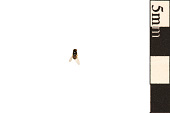 view Eye Gnat, Grass Fly, Eye Fly, Spear-winged Fly digital asset number 1