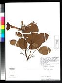 view Amphilophium pulverulentum (Sandwith) L.G. Lohmann digital asset number 1