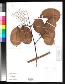 view Tynanthus sastrei A.H. Gentry digital asset number 1