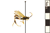 view Ichneumonid Wasp digital asset number 1