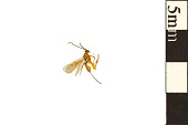view Braconid Wasp digital asset number 1