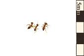 view Acrobat Ant digital asset number 1