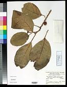 view Ficus septica Burm. f. digital asset number 1