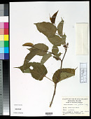 view Morus australis var. glabra Koidz. digital asset number 1