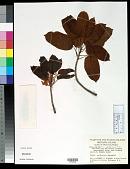 view Ficus superba var. japonica Miq. digital asset number 1