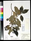 view Tarenna gracilipes (Hayata) Ohwi digital asset number 1