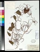 view Dioscorea bulbifera f. spontanea (Makino) Makino & Nemoto digital asset number 1