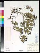 view Psychotria serpens L. digital asset number 1