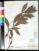 view Neolitsea sericea (Blume) Koidz. digital asset number 1