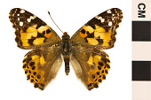 view Painted Lady digital asset number 1