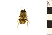 view European Honey Bee digital asset number 1