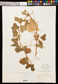 view Passiflora foetida var. hispida (DC. ex Triana & Planch.) Killip digital asset number 1