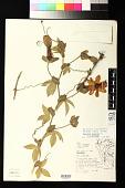 view Passiflora trifoliata digital asset number 1