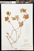 view Passiflora pallens Poepp. ex Mast. digital asset number 1