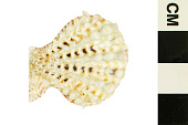 view Knobby Scallop, Little Knobby Scallop digital asset number 1