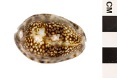 view Depressed Cowrie, Depressed Cowrie digital asset number 1