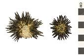 view Rock-boring Urchin digital asset number 1