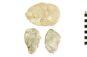 view Eastern Oyster, Eastern American Oyster digital asset number 1