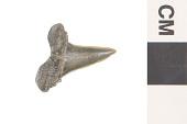 view Mackerel Shark digital asset number 1