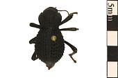 view Blue Death Feigning Beetle digital asset number 1