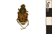view Hairy Flower Chafer, Bee-like Flower Scarab digital asset number 1
