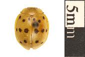 view Mexican Bean Beetle digital asset number 1