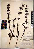 view Collinsia tinctoria Hartw. ex Benth. digital asset number 1