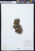 view Crepidomanes minutum (Blume) K. Iwats. digital asset number 1
