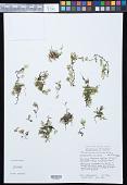 view Crepidomanes humilis (G. Forst.) Bosch digital asset number 1