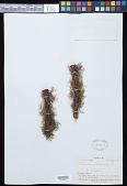 view Polyphlebium endlicherianum (C. Presl) Ebihara & K. Iwats. digital asset number 1