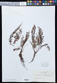 view Cephalomanes densinervium (Copel.) Copel. digital asset number 1