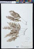 view Abrodictyum caudatum (Brack.) Ebihara & K. Iwats. digital asset number 1